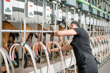 Man inserting nipples of the milking machine during the milking process at the goat farm