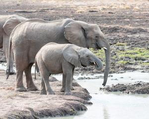 Juvenile African Elephants