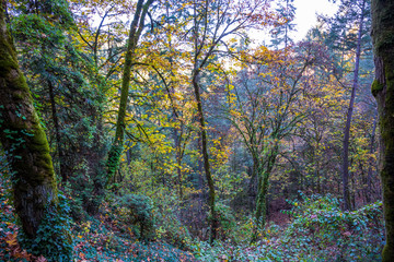 Autumn forest with trees overgrown with ivy and moss-covered trunks