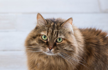 Fluffy pet of livestock, siberian purebred cat with long hair