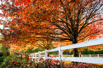 Row of autumn red maples with falling leaves on lawn behind wooden fence