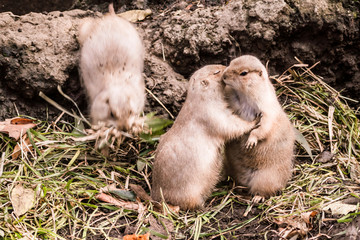 Two black-tailed prairie dogs are showing love to each other