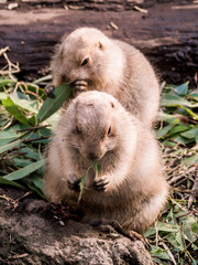 A group of black-tailed prairie dogs are having fun under sunshine weather