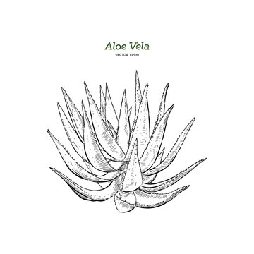 Vector hand drawn botanical Aloe Vera.