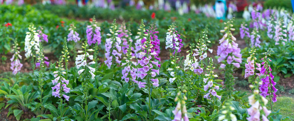 Digitalis or foxglove with mauve flowers with purple spots. Amazing flower background at festival in spring colorful bloom, beautiful blossom on branch of tree