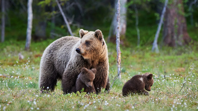 Mother bear and her three little puppies