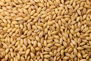 Food: Close up of Hulless Barley Shot in Studio