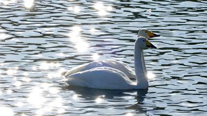白鳥 古徳沼