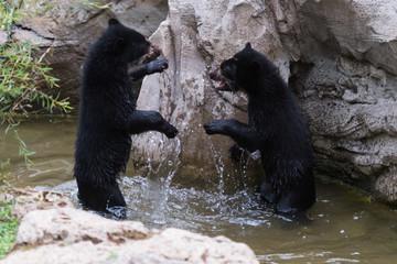 Brillenbären planschen im Wasser