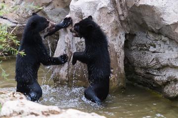 Bären planschen im Flußlauf