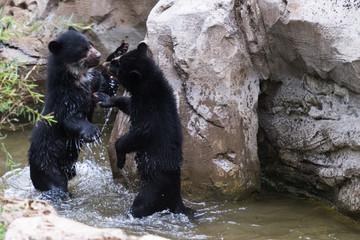 Kräftemessen von Bären im Flusslauf