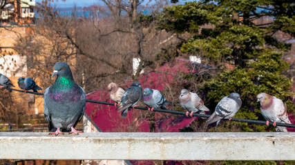 Pigeons on the wire against the background of autumn trees with dry leaves.