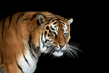 Wall Mural - Tiger portrait on black background