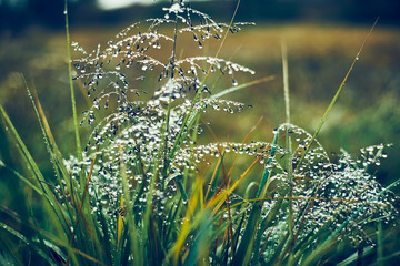 草に付いた朝露