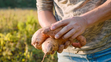Farmer holding fresh crop of sweet potato in hands and inspecting it, close-up
