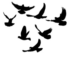 isolated flying flock of pigeons silhouette black
