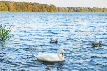 Beautiful swans on lake with blue water