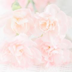 Fototapeta Light pink carnation flowers. Soft focus, close up