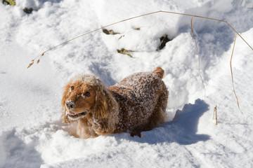 spaniel sneaks through deep snow for a walk