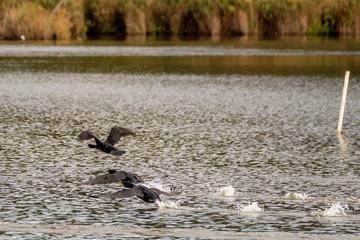 Three cormorants fly by the water on Lake Massaciuccoli, Tuscany, Italy