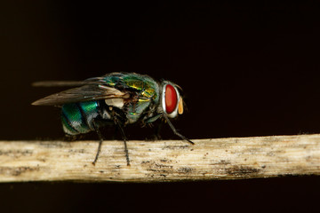 Image of a flies (Diptera) on brown branch. Insect. Animal.