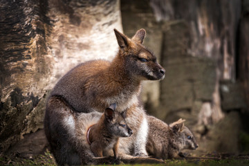 Wallaby doe and newborn joey in its pouch resting