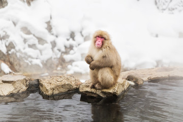 animals, nature and wildlife concept - japanese macaque or snow monkey in hot spring of jigokudani park