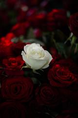 Pour vos mariage, des fleurs rouge bien isolé dans un arrière plan noir