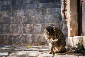 Stray Cat Licking Its Paw