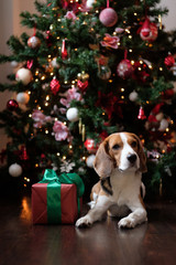 Beagle dog with a Christmas gift in front of the Christmas tree