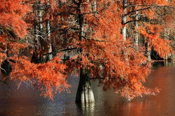 Canvas Prints Red Bald cypress in Autumn, France
