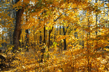 Beautiful autumn trees and bushes in the forest. Autumn golden and yellow trees illuminated by the sun on an autumn day. Fallen leaves. Calm sunny day.