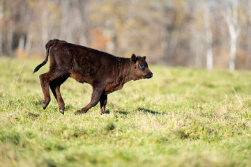 Black Angus calves in a pasture on a Minnesota Farm