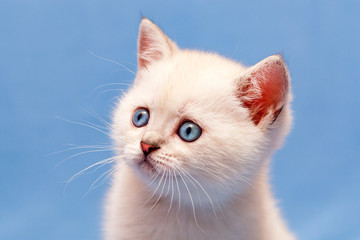 Close-up portrait of white British kitten with blue eyes, pink nose and fluffy whiskers