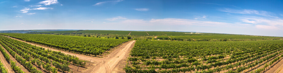 Rows of green vines in a vineyard in rural Moldova