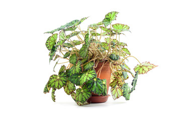 Begonia bowerae plant in flower pot