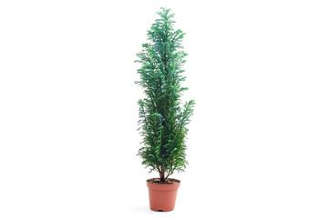 Chamaecyparis lawsoniana Ellwoodii plant in flower pot