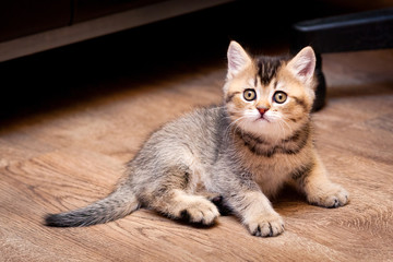 Cute brown kitten sitting on the floor and looking at the camera