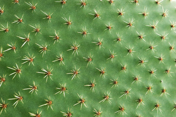 Fotobehang Cactus Closeup of spines on cactus, background cactus with spines