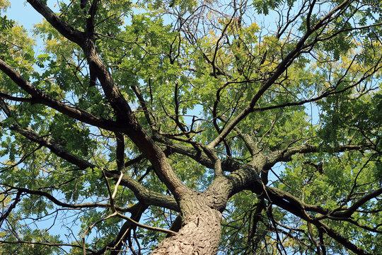 Black locust robinia pseudoacacia tree