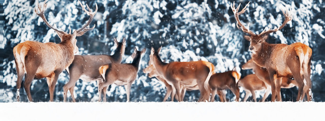 Wall Mural - A noble deer with females in the beautiful winter snow forest. Artistic winter landscape. Winter wonderland. Banner design.