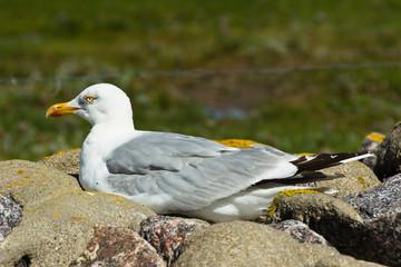 Seevögel Nordfriesisches Wattenmeer