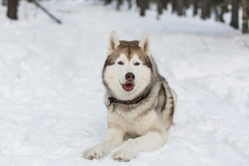 Portrait of Husky dog lying in winter forest. Brown and White Siberian husky is on the snow on Sakhalin Island in Russia