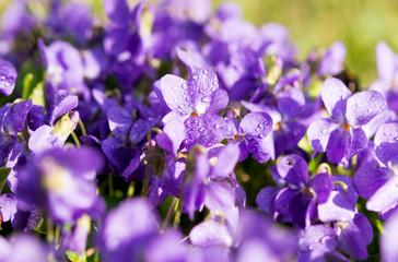 violets flowers blooming