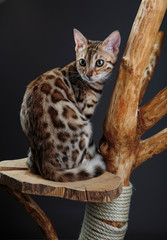 Young Bengal Kitten under the Table