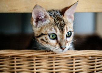 Young Bengal Kitten in her Basket