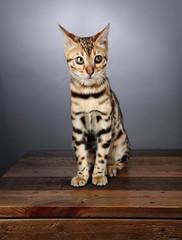 Young Bengal Kitten Studio Portrait