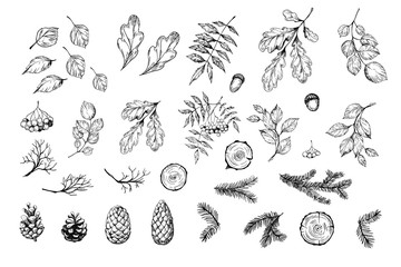 Set of botanical elements. Oak leaves, cones, pine spruces. Vector sketch. Isolated