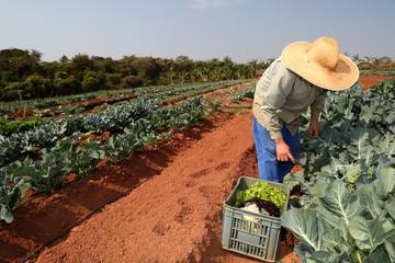 farmer planting cabbage in organic garden.