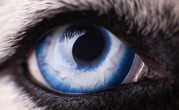 Macro photo of blue eye Siberian Husky dog.  Close up blue eye